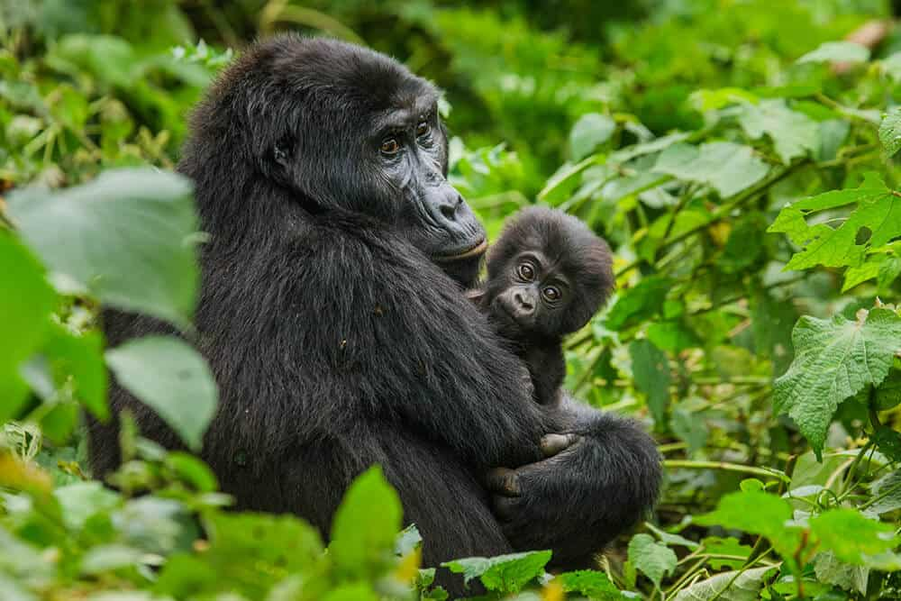 Rwanda-HUH-Gorillas-1000px