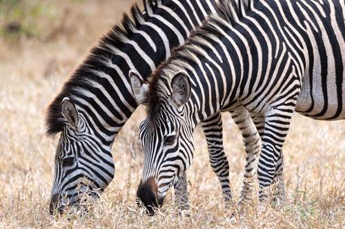 Fulfilling luxury vacation giraffe in Zambia