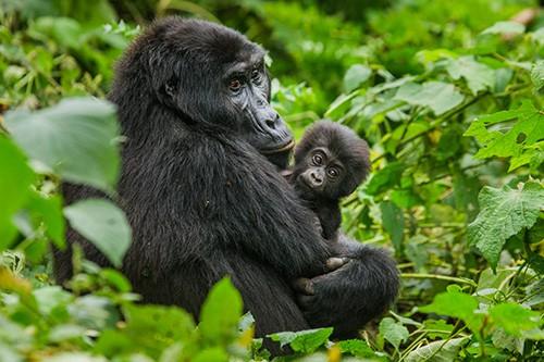 Luxury volunteering trip gorillas in Rwanda