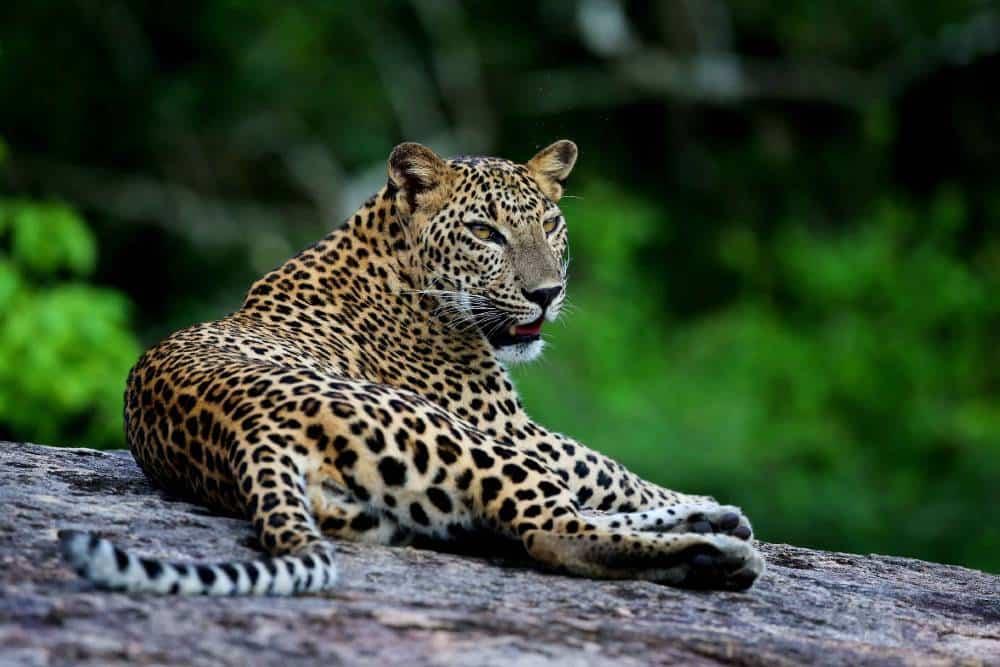 Luxury family voluntourism leopard in Sri-lanka
