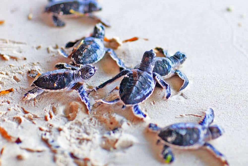 Luxury volunteer vacation turtles Sri Lanka